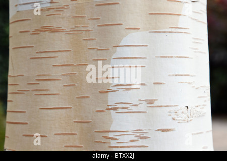 White, bellte Himalaya Birke Baum Rinde Nahaufnahme (Betula Utilis Jacquemontii). UK - Stockfoto