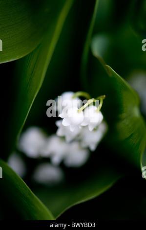 Lily Of The Valley - Convallariaarten majalis - Stockfoto