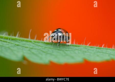 Nahaufnahme, Makro-Bild von einem 7-Punkt Marienkäfer - Coccinella Septempunctata ruht auf dem lebendigen rote Blütenblatt - Stockfoto