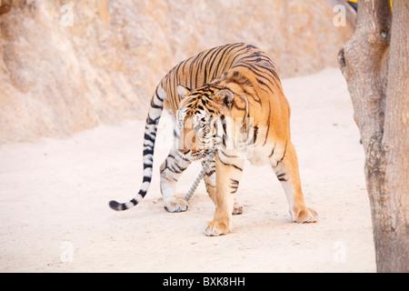 Tiger im Tiger-Tempel (Wat Pha Luang Ta Bua) - Stockfoto
