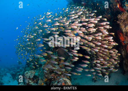 Rotes Meer Rotfeuerfische Jagd Glas Fisch, Nuweiba, Sinai, Ägypten, Rotes Meer, Indischer Ozean - Stockfoto