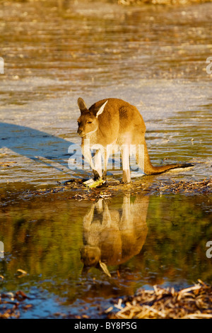 Red Kangaroo füttern am Strand von Lucky Bay, Cape La Grand, Western Australia - Stockfoto
