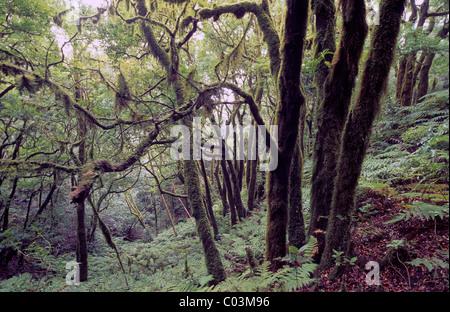 Laurel Regenwald im Anaga-Gebirge, Teneriffa, Kanarische Inseln, Spanien, Europa - Stockfoto