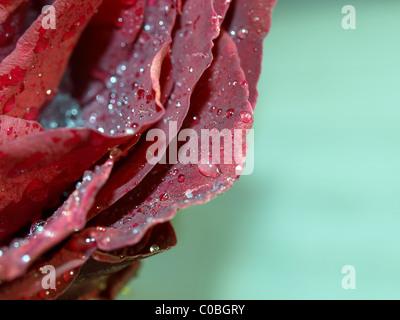 gefrorenen Tropfen Wasser auf die Blütenblätter rose - Stockfoto