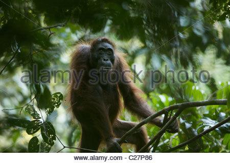 Eine Erwachsene weibliche Bornean Orangutan, Pongo Pygmaeus. - Stockfoto
