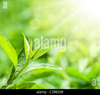 Teeblätter auf einer Plantage in den Strahlen des Sonnenlichts. - Stockfoto