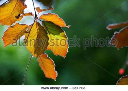 Fagus Sylvatica F. Purpurea. Blutbuche verlässt durch Sonnenlicht beleuchtet. UK - Stockfoto