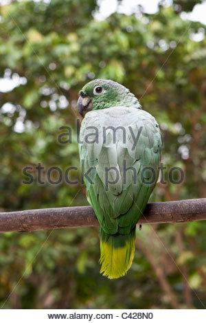 Peru, Boca Manu, Blanquillo, Manu Nationalpark, UNESCO-Weltkulturerbe, mehlig Papageien (Amazona Farinosa). Gefangenschaft. - Stockfoto