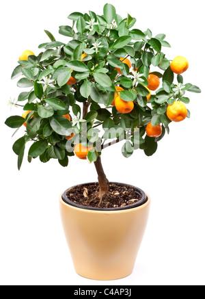 dekorative bonsai baum stockfoto bild 97712009 alamy. Black Bedroom Furniture Sets. Home Design Ideas