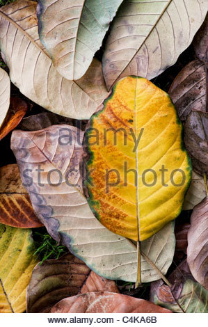 Magnolia Delavayi. Gefallener verfärbter Magnolienbaum Blätter - Stockfoto