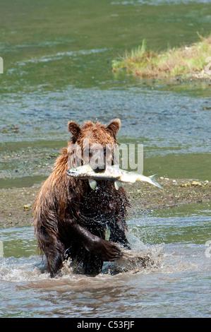 Brauner Bär fängt einen Fisch im Chinitna Bay, Lake-Clark-Nationalpark, Yunan Alaska, Sommer - Stockfoto