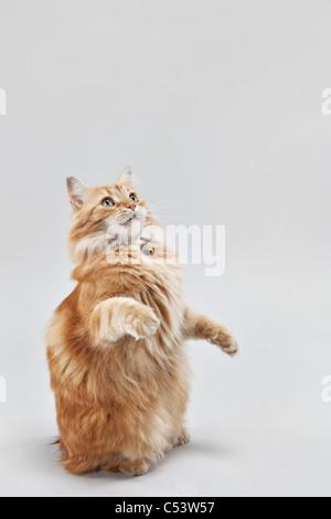 Kleine orange manx Tabbykatze betteln und sitzen auf seinen Hinterbeinen. - Stockfoto