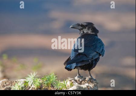 Raven Sie (Corvus Corax) im Gipfel des Vulkans Montaña Blanca, Lanzarote, Kanarische Inseln, Spanien - Stockfoto