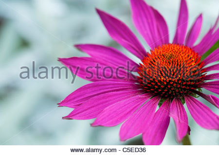 sonnenhut echinacea purpurea stockfoto bild 71512204. Black Bedroom Furniture Sets. Home Design Ideas