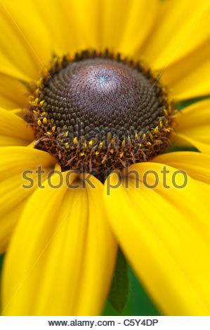 Rudbeckia 'Indian Summer' Blume. Sonnenhut 'Indian Summer' - Stockfoto