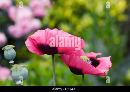 Papaver Somniferum. Rosa Mohnblumen in einem englischen Garten. - Stockfoto