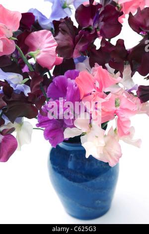 Platterbse man. Sweet Pea Blumen in blauer Vase mit einem weißen Hintergrund. - Stockfoto