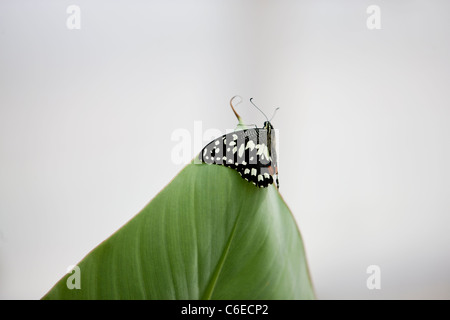 Ein Kalk-Schmetterling, Papilio Demoleus Malayanus an der Spitze eines Blattes - Stockfoto