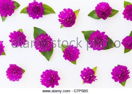 """Gomphrena Globosa.  Globe Amaranth oder Schaltfläche """"Bachelor"""" Blüten auf weißem Hintergrund - Stockfoto"""
