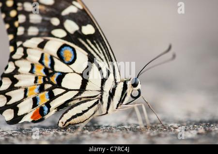 Papilio Demoleus. Kalk-Schmetterling - Stockfoto