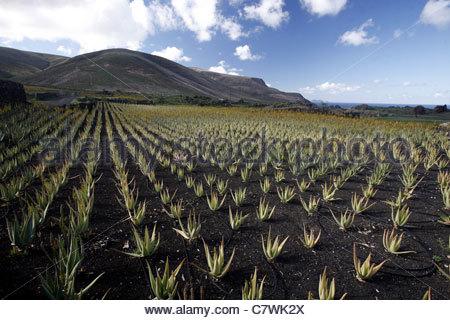 Die Landschaft mit Haria im Norden der Insel Lanzarote auf den Kanarischen Inseln im Atlantik. - Stockfoto