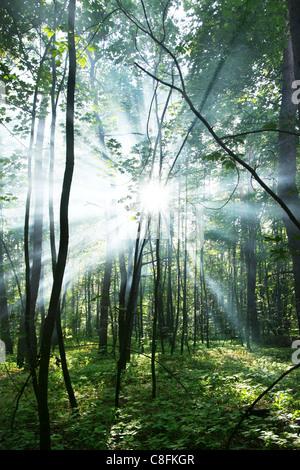 Der Sonne Strahlen durch die Bäume im Wald. - Stockfoto