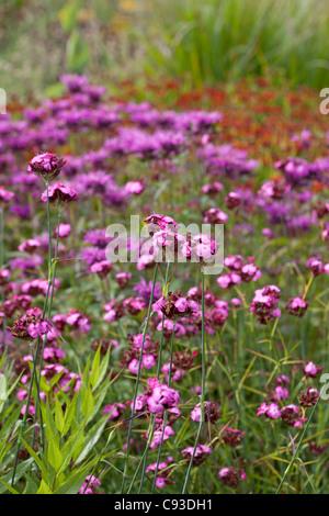 Dianthus carthusianorum - Stockfoto