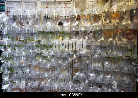 Tropical Fischmarkt auf Verkauf in einzelnen Plastiktüten in der Goldfisch Goldfische Straße Mong Kok Bezirk Kowloon - Stockfoto