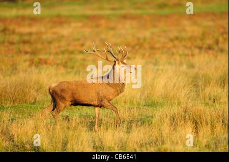 Reife rote Rotwild-Hirsch im goldenen Sonnenlicht - Stockfoto
