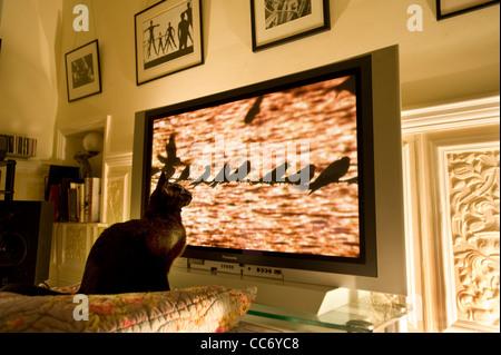 Siamesische Black Cat Uhren eine Reihe von Hirundines Vögel (Schwalbe oder Mehlschwalben) thront auf einem Telefondraht - Stockfoto