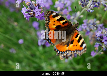 aglais urticae stockfoto bild 23194512 alamy. Black Bedroom Furniture Sets. Home Design Ideas