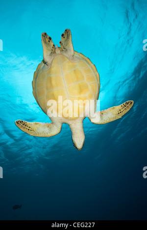 Green Sea Turtle, Chelonia Mydas, Baa-Atoll, Indischer Ozean, Malediven - Stockfoto