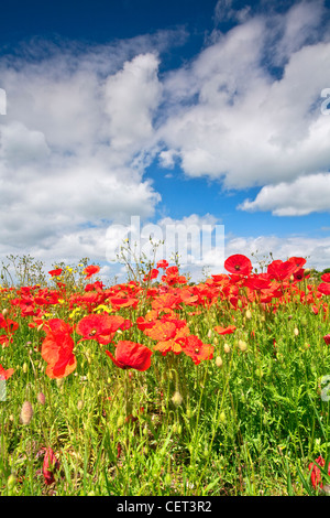 Mohn wächst in einem Feld in der Nähe von Castle Acre in der Norfolk-Landschaft im Sommer. - Stockfoto