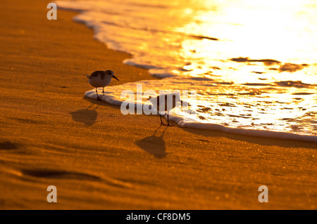 Sanderlinge-'Hunakai' in der hawaiianischen Sprache (Calidris Alba), Polihale Beach, Kauai, Hawaii - Stockfoto