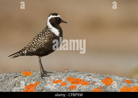 amerikanische golden plover pluvialis dominica stockfoto bild 11300122 alamy. Black Bedroom Furniture Sets. Home Design Ideas