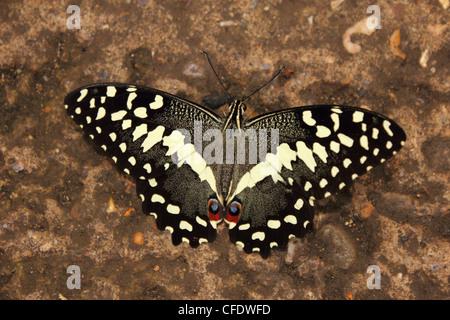 Kalk-Schwalbenschwanz-Schmetterling (Papilio Demoleus) - Stockfoto