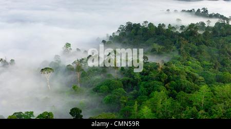 Nebel und niedrige Wolken hängen über Dipterocarp Tieflandregenwald mit emergent Menggaris Baum sichtbar. Danum - Stockfoto