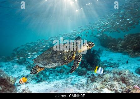 Echte Karettschildkröte schwimmen über Korallenriff mit einer Schule Scad und zwei Butterflyfish, Misool, Indonesien. - Stockfoto