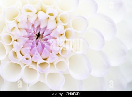 Dahlie 'Josie Gott', Nahaufnahme von lila und weißen Blüten, die auf einer Blume öffnen. - Stockfoto