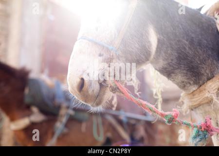 Eselskopf, Zuschneiden - Stockfoto