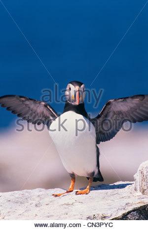 Papageitaucher, Maine, USA - Stockfoto