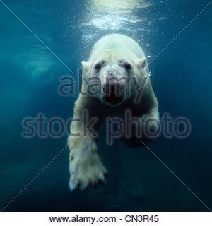 Schwimmen Eisbär, Nordamerika - Stockfoto
