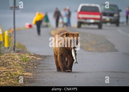 Ein Braunbär geht auf eine Straße in der Nähe von Valdez an Allison Punkt mit einem rosa Lachs im Maul, Alaska - Stockfoto