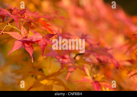 acer bl tter im herbst stockfoto bild 15163386 alamy. Black Bedroom Furniture Sets. Home Design Ideas