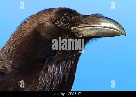 Kanarischen Inseln Raven, Kanarischen Raven (Corvus Corax Tingitanus, Corvus Tingitanus), Porträt, Kanarische Inseln, - Stockfoto