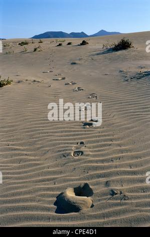 Fußabdrücke durch Sanddünen in der Nähe von Corralejo, Fuerteventura, Kanarische Inseln, Spanien, Europa - Stockfoto