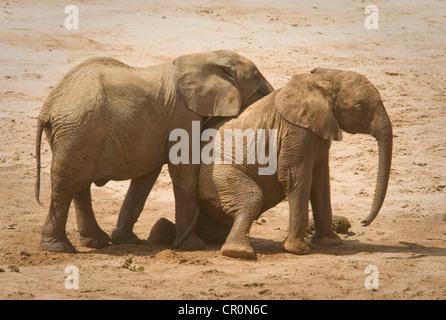 Zwei junge Elefanten spielen, auf Knien - Stockfoto