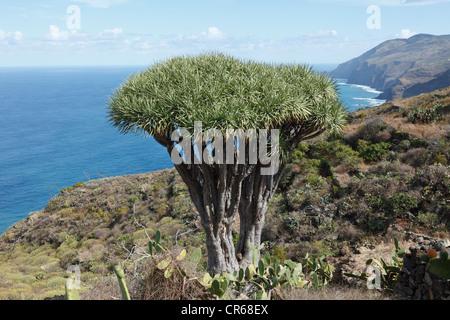 Spanien, La Palma, Ansicht des Kanarischen Drachenbaum - Stockfoto