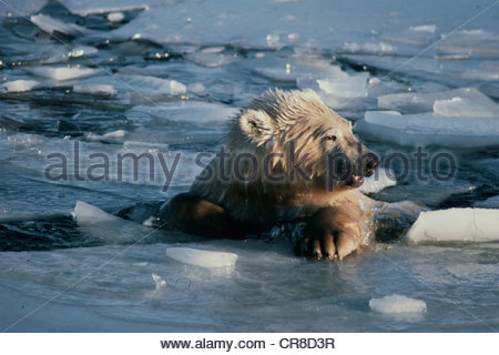 Eisbär entsteigt ein erfrischendes Bad im eisigen Wasser. - Stockfoto