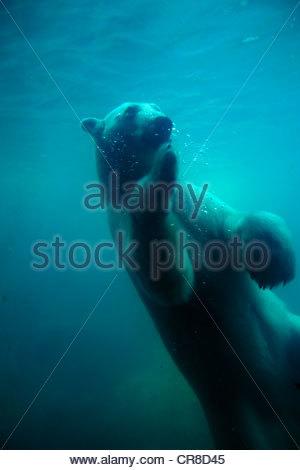 Unterwasser-Blick eines Eisbären schwimmen. - Stockfoto